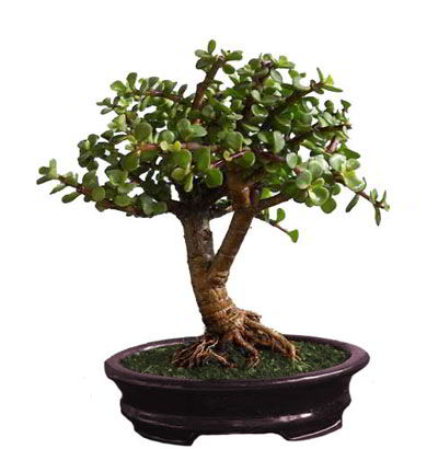 Bonsai Arbol de La Moneda