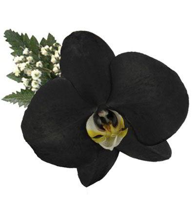 Orquidea Negra Flores Y Detalles