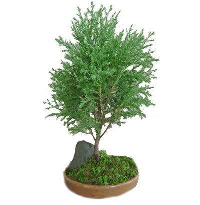 Bonsai Cypress Chino